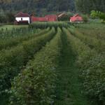 campo di lamponi